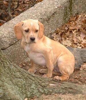 Португальский бракк (пойнтер) щенок фото