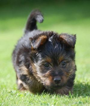 Австралийский терьер щенок фото