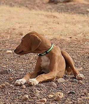 Азавак щенок фото