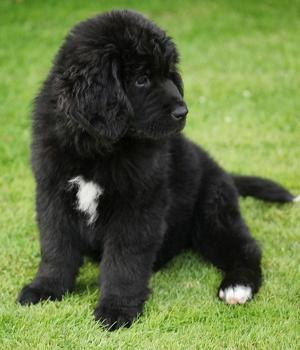 Ньюфаундленд щенок фото