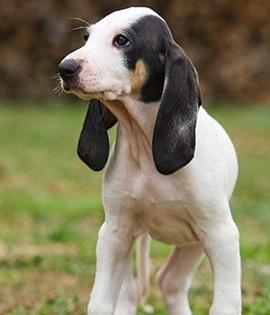 Арьежская гончая щенок фото