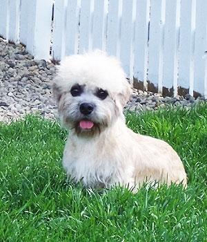 Денди-динмонт-терьер щенок фото