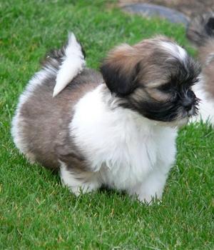 Лхаса Апсо щенок фото