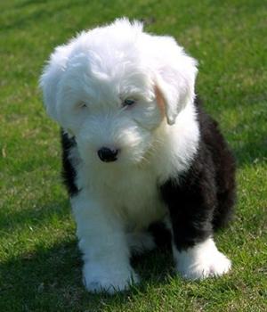 Бобтейл щенок фото