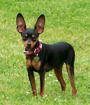 Ка́рликовый пи́нчер  щенок фото