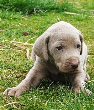 Веймаранер щенок фото