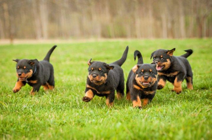 Ротвейлер щенки