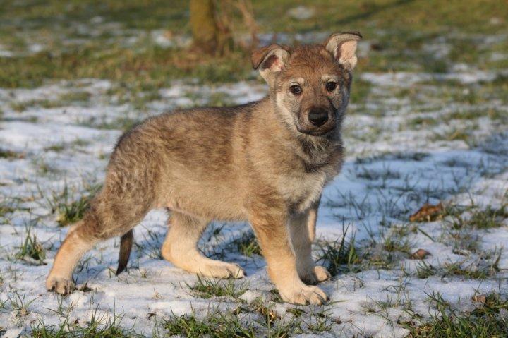 Чехословацкая волчья собака щенки