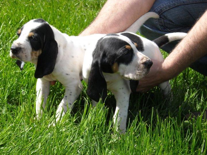 Французская бело-черная гончая щенки