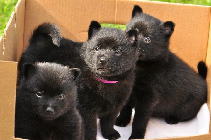 Шипперке щенки