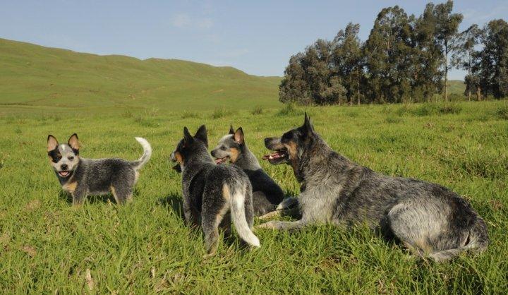 Австралийская пастушья собака щенки