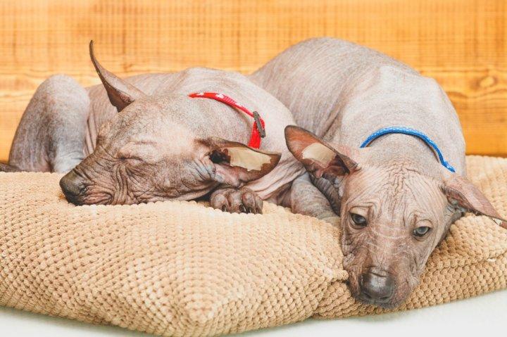 Шолоитцкуинтли щенки