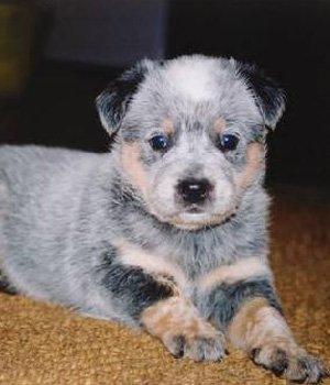 Австралийская короткохвостая пастушья собака щенки