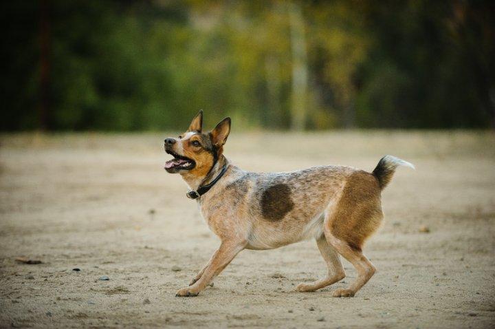 Австралийская короткохвостая пастушья собака фото