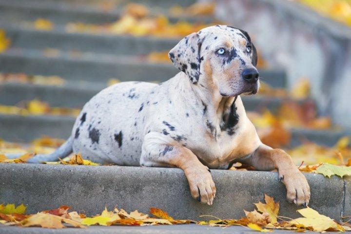 Леопардовая собака Катахулы фото