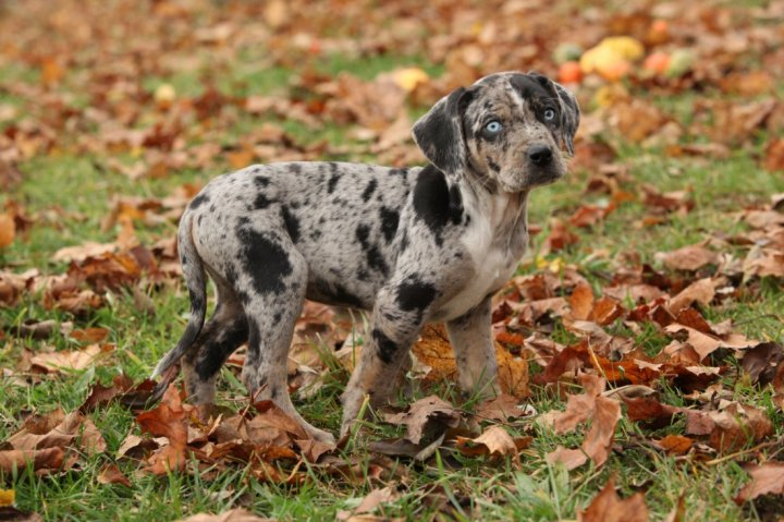 Леопардовая собака Катахулы щенки