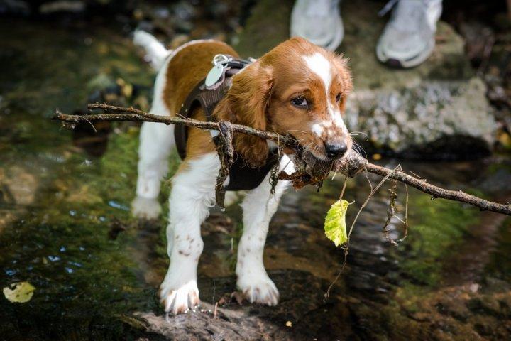 Вельш спрингер спаниель щенки