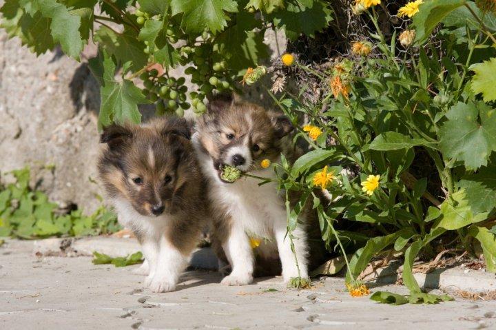 Шелти щенки