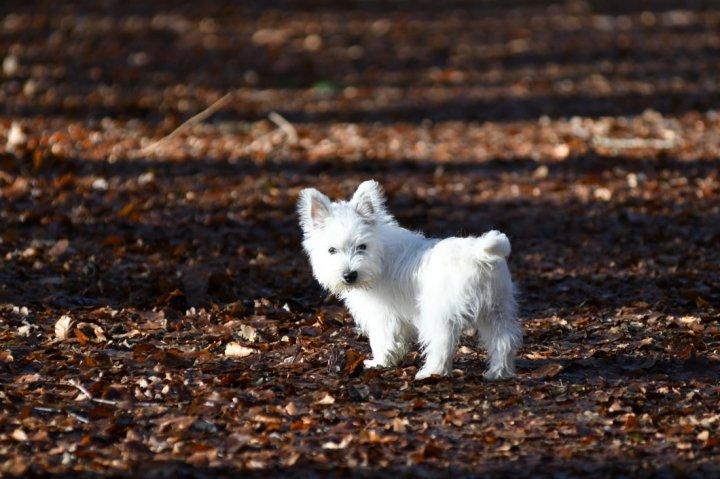 Вест-хайленд-уайт-терьер щенки