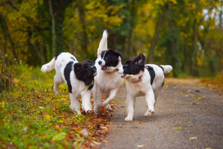 Ландсир щенки