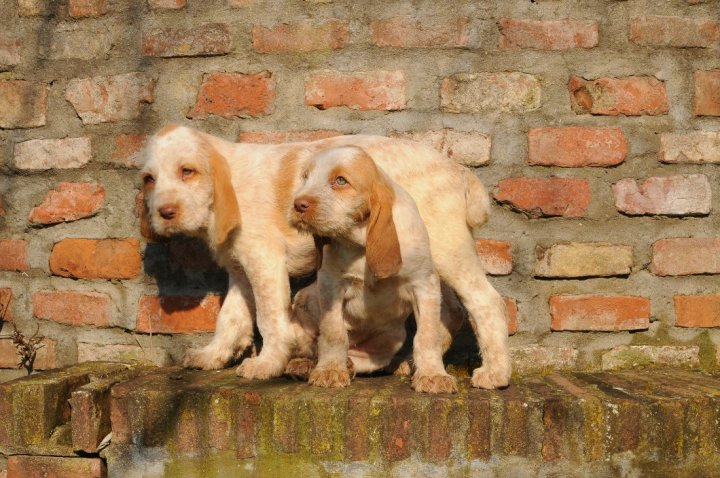 Спиноне щенки