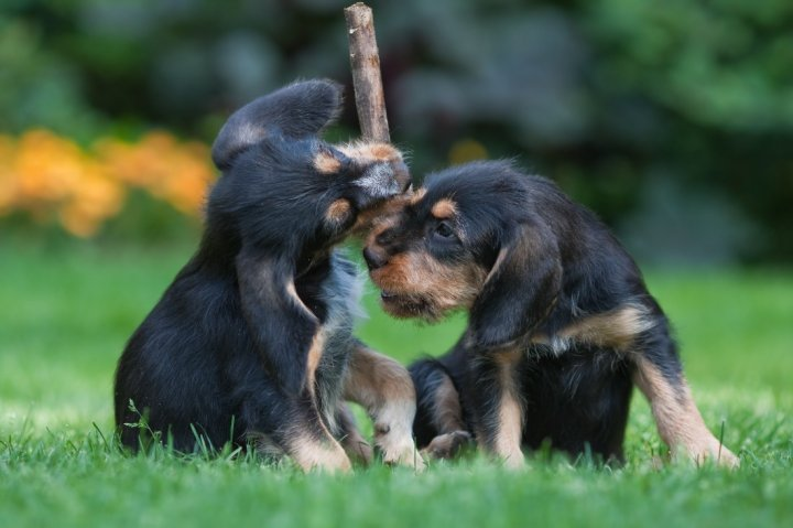 Оттерхаунд щенки
