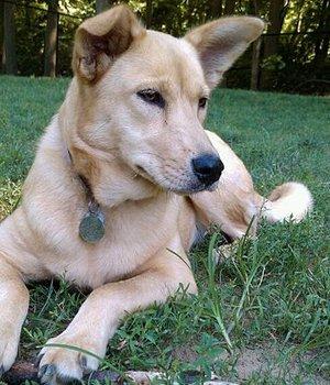 Каролинская собака фото