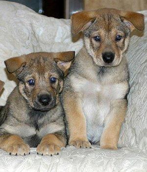 Каролинская собака щенки