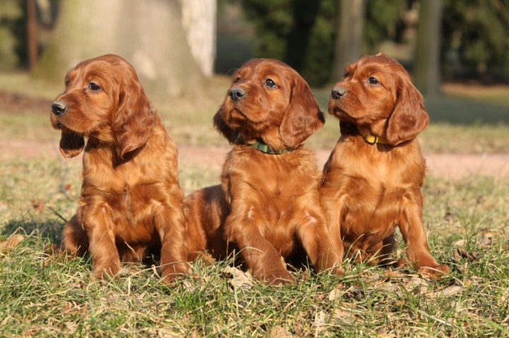 Ирландский сеттер щенки