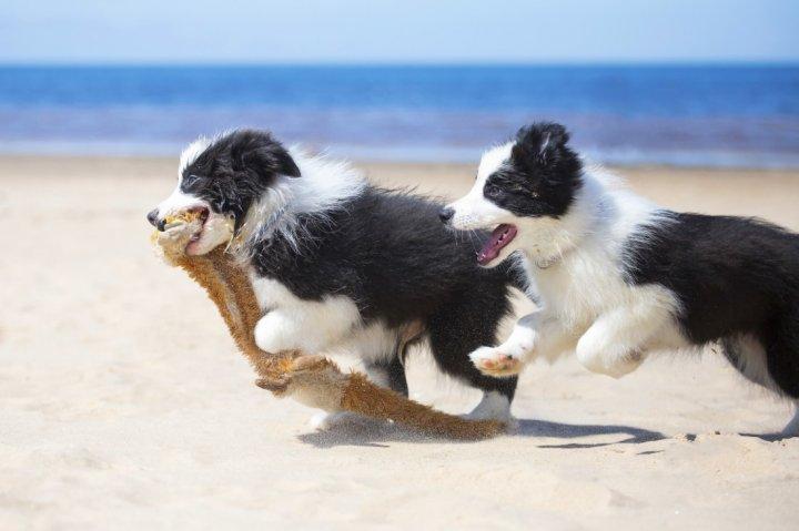 Бордер-колли щенки