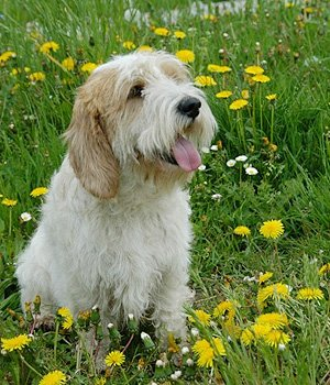 Вандейский бассет-гриффон щенки