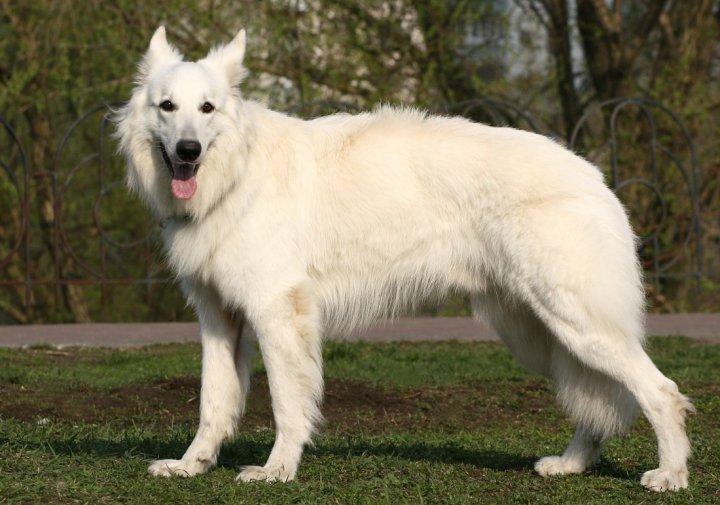 Белая американская овчарка фото