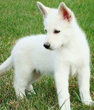 Белая американская овчарка щенки