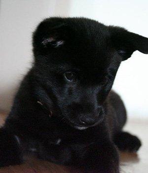 Норвежский эльгхунд черный щенки