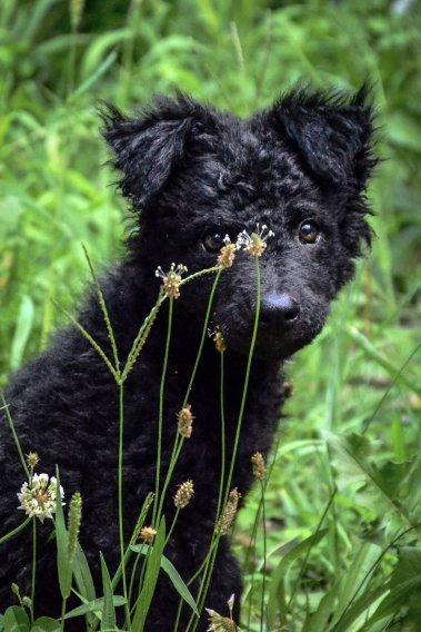 Хорватская овчарка щенки