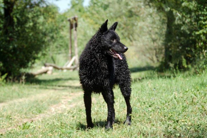 Хорватская овчарка фото
