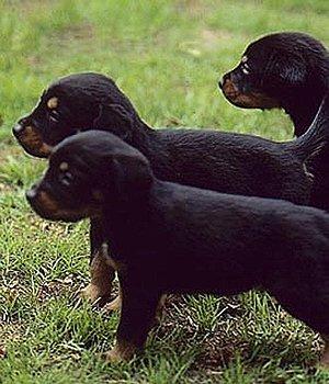Смоландская гончая щенки