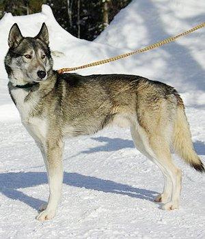 Сеппальская Сибирская ездовая собака фото