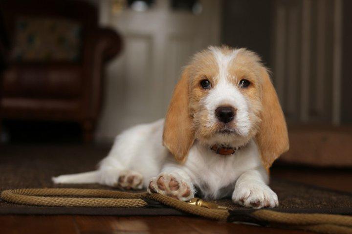 Малый вандейский бассет-гриффон щенки