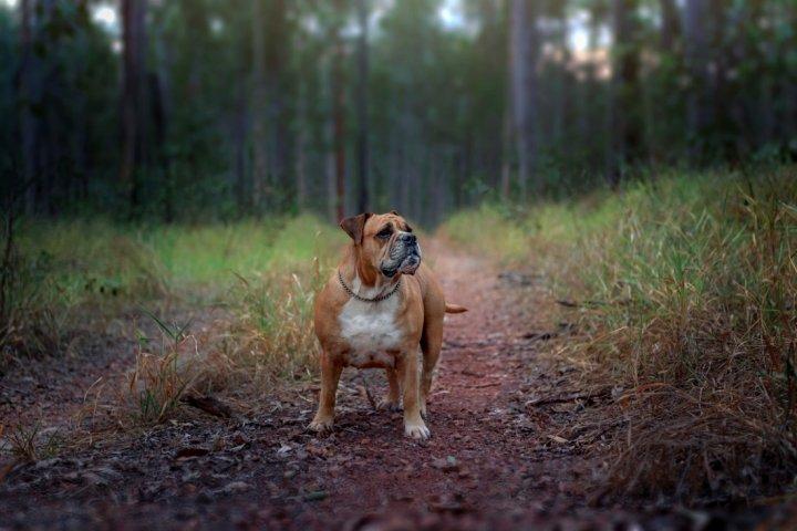 Австралийский бульдог фото