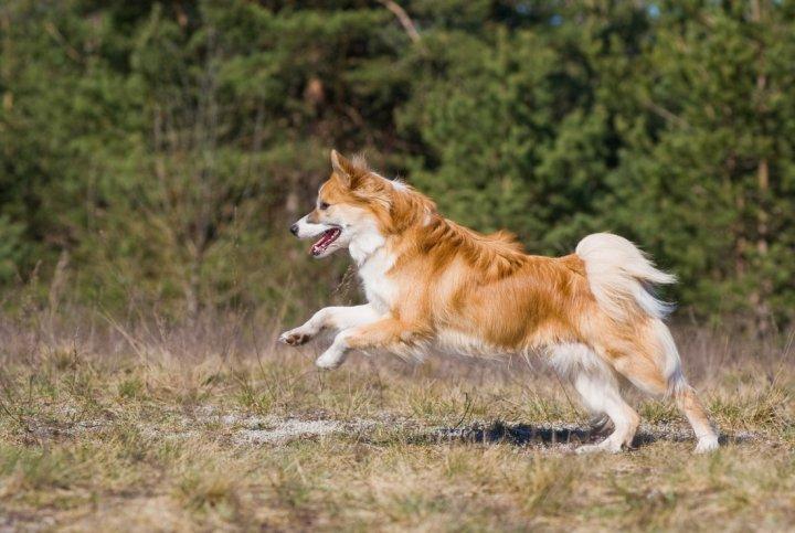 Исландская собака фото