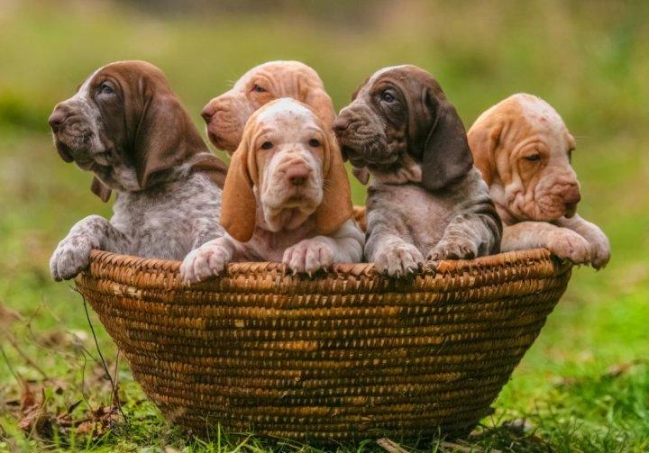 Итальянский бракк щенки