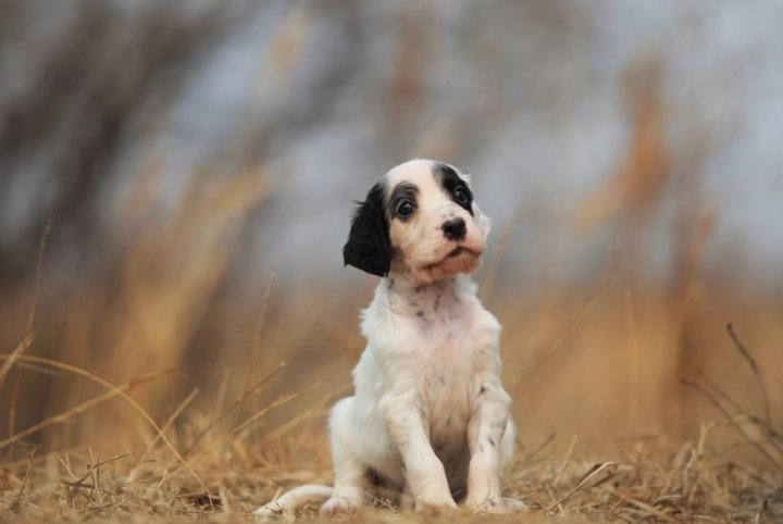 Английский сеттер щенки