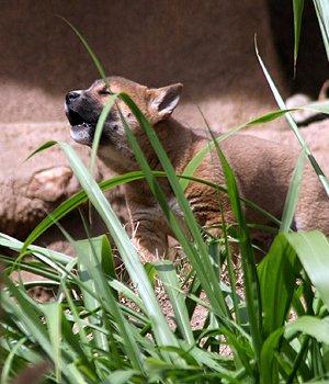 Новогвинейская поющая собака щенки