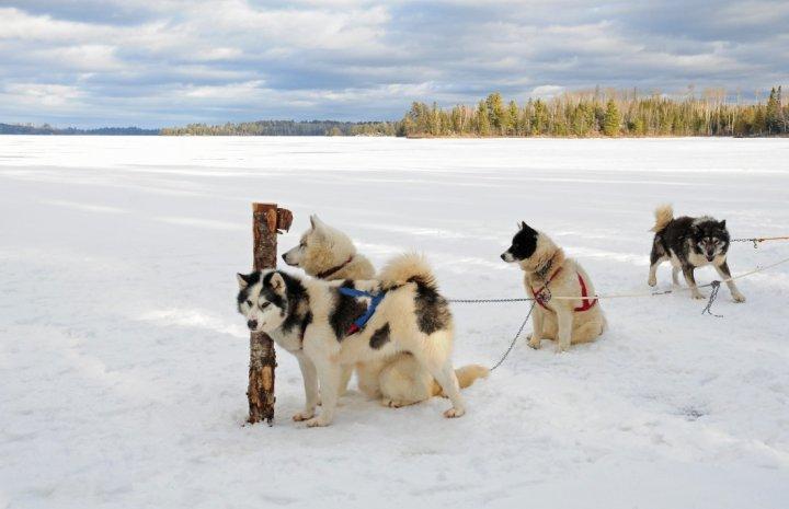 Канадская эскимосская собака фото