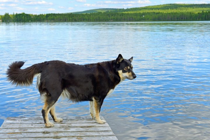 Лапландская пастушья собака фото