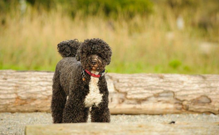 Португальская водяная собака фото