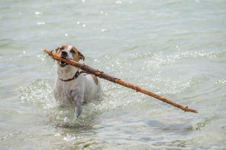 Датско-шведская фермерская собака фото