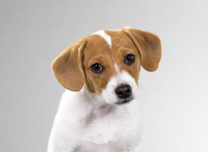 Датско-шведская фермерская собака щенки