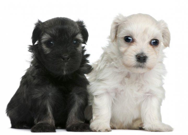 Малая львиная собачка щенки